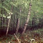 Abb. 5: Säbelwuchs der Bäume in der Sackungsmasse